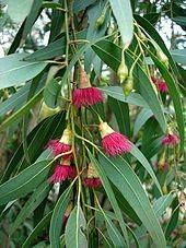 Miel D'eucalyptus -Bio- Perle D'abeille 125g
