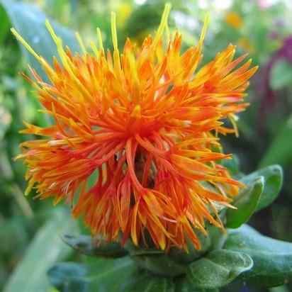 Flore et sens Huile de carthame 100 ml