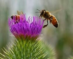 Miel De Chardon -Bio- Perle D'abeille 125g