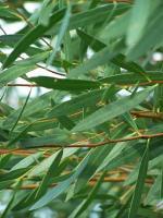 Flore et sens Huile Essentielle d'Eucalyptus 20 ml