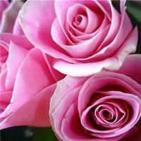 Huile de beauté à la rose (50 ml)