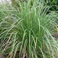 Flore et sens huile essentielle de lemongrass 15ml