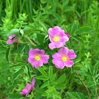 Naturesoin Huile de Rose de Musquee 50 ml