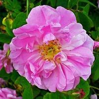 Flore et sens Hydrolat de rose 100 ml